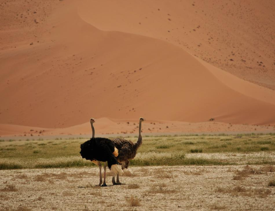 Ostriches Namibia