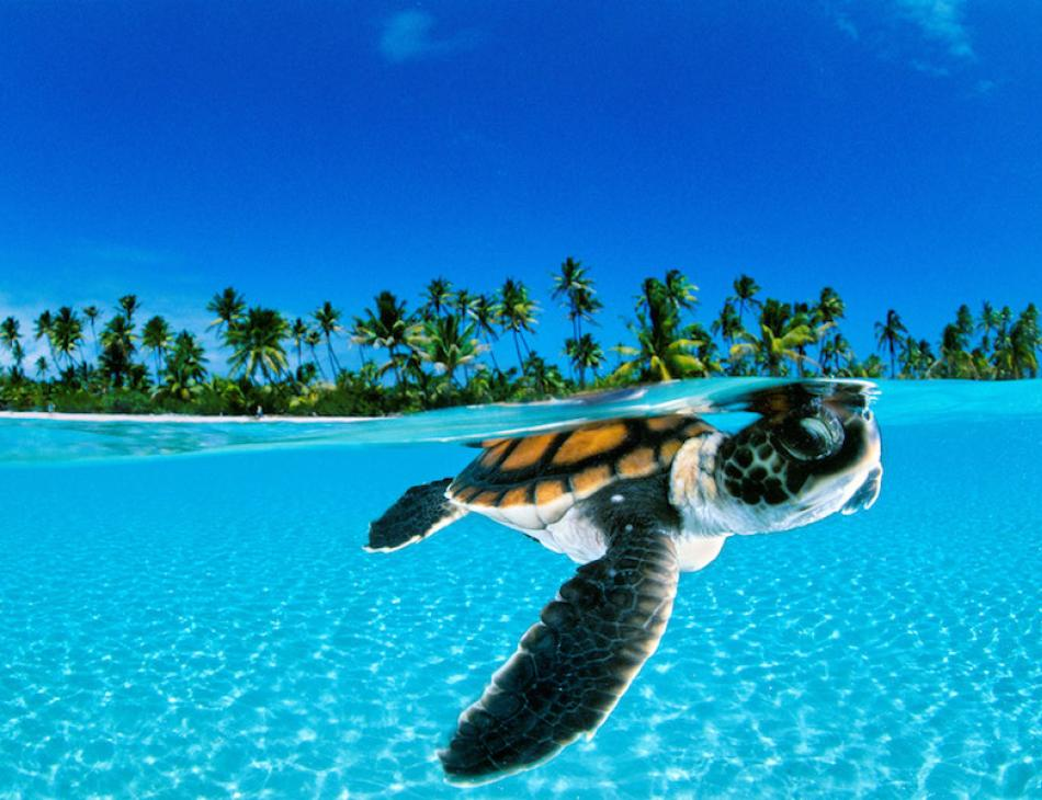 World Turtle Day At The Brando Private Island